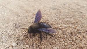 Fioletowa pszczoła: zauważyłeś – alarmuj!